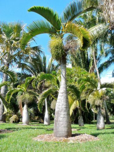 Le palmier « bouteille : hyophorbe Lagenicaulis